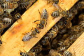 Worker Bees on Honeycomb — Stock Photo