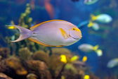 Underwater image of tropical fishes — Stock Photo