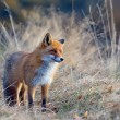 Stock Photo: Fox in wildlife
