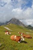 Vacas descansando — Foto de Stock