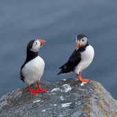 Puffin standing on cliff (fratercula arctica) — Stock Photo