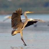Great blue heron (Ardea herodias), Danube Delta — Stock Photo
