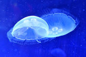 Underwater image of jellyfishes — Stock Photo
