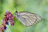 Butterfly in natural habitat (aporia crataegi) — Stock Photo
