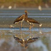 Cicogna nera - ciconia nigra — Foto Stock