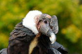 Andean Condor (Vultur gryphus) close-up portrait — Stock Photo