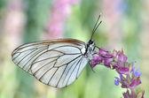 Butterfly in natural habitat (aporia crataegi) — Stock Photo