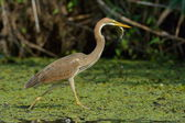 Purple heron (ardea purpurea) — Foto de Stock