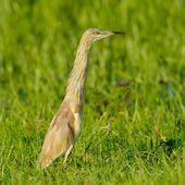 Golden heron (ardeola ralloides) — Stock Photo