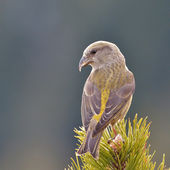 Crossbill in natural habitat (loxia curvirostra) — Stock Photo