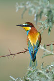 European bee-eater (Merops Apiaster) outdoor — Stock Photo