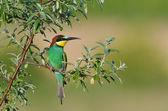 European bee-eater (Merops Apiaster) outdoor — Foto de Stock