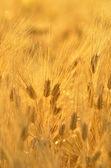 Golden cereal field closeup — Stock Photo