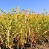 Closeup of rice on plantation — Zdjęcie stockowe