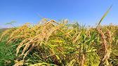 Closeup of rice on plantation — 图库照片