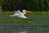 Pelicans in natural habitat — Stock Photo
