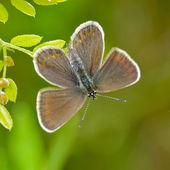 Butterfly in natural habitat (plebejus argus) — Stockfoto