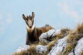 Chamois (rupicapra rupicapra) — Foto de Stock