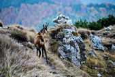 Chamois (rupicapra rupicapra) — Stock Photo