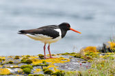 Eurasian Oystercatcher (Haematopus ostralegus) — Stock Photo