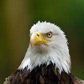 The Bald Eagle (Haliaeetus leucocephalus) portrait — Stock Photo