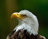 The Bald Eagle (Haliaeetus leucocephalus) portrait — Foto Stock