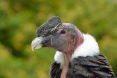 Andean Condor (Vultur gryphus) close-up portrait — Stock Photo