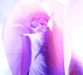 Růže detail — Stock fotografie