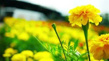 Žlutý měsíček pole — Stock video