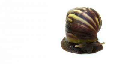 Giant African Land Snail — Stock Video #12566293