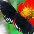Stock Video: Black Butterfly