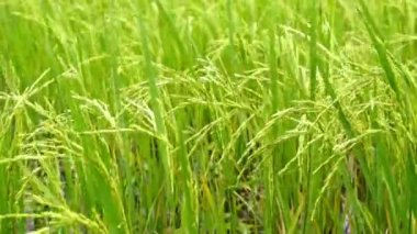 Paddy Field — Stock Video