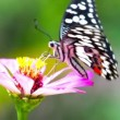 Stock Video: Butterfly (ChilasClytia)
