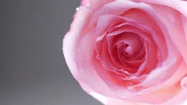 Pink rose — Stock Video