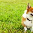 Pembroke Welsh Corgi — Stock Video