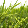 Stock Photo: Paddy Field