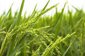 Paddy Field — Stock Photo