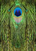 孔雀の羽 — ストック写真