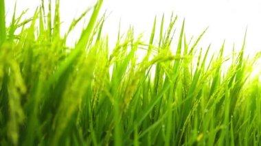Rice paddy field — Stock Video