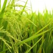 Rice paddy field — Stock Video