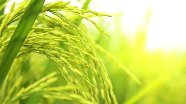 Champ de riz paddy — Vidéo
