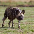 Wild dog stalking — Stock Photo #13178654