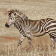 Endangered Cape Mountain Zebra — Stock Photo