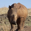 Stock Photo: Young White Rhinocerus