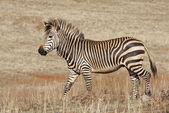 Endangered Cape Mountain Zebra — Stock Photo