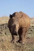 Young White Rhinocerus — Stock Photo