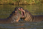 Two fighting hippos — Stock Photo