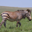 Endangered Cape Mountain Zebra walking in green grassland — Stock Photo