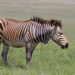 Endangered Cape Mountain Zebra standing in green grassland — Stock Photo