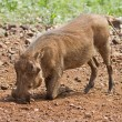 Close-up side view of a warthog searching for food — Stock Photo